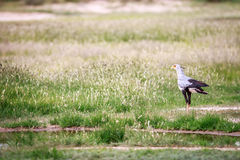 Secretary bird in the grass. Royalty Free Stock Images