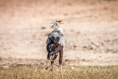 Secretary bird in the grass. Stock Photo