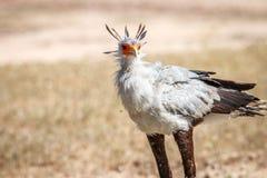 Secretary bird in the grass. Royalty Free Stock Photos