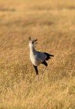 A Secretary Bird in grassland Stock Photos