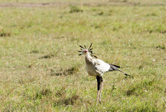 A Secretary bird in the grassland of savanna Stock Photo