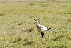 A Secretary bird in the grassland of savanna Stock Photo