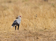 Secretary Bird on the ground Stock Images