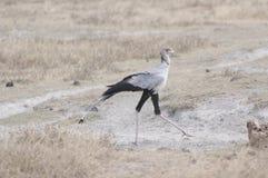 Secretary Bird. A secretary bird on a hunt for prey Royalty Free Stock Image