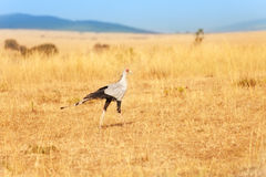 Secretary bird hunting its prey in African savanna Stock Photo