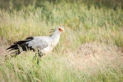 Secretary bird hunting stock image