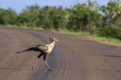 Secretary bird in Kruger National park, South Africa Stock Images