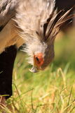 Secretary bird looking for food Royalty Free Stock Photography