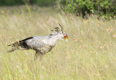 Secretary bird looking for snakes Stock Images