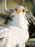 Secretary Bird Looks Back Large Raptor Animal Wildlife Royalty Free Stock Photos