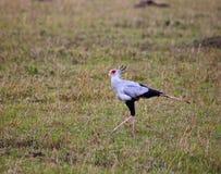 Secretary Bird on the Masai Mara Royalty Free Stock Photography
