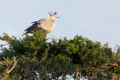 Secretary bird, Masai Mara Stock Images