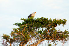 Secretary bird, Masai Mara Royalty Free Stock Photo