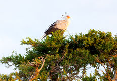 Secretary bird, Masai Mara Royalty Free Stock Images