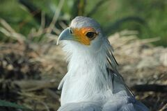 Secretary bird in nest