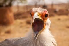 Secretary bird with open beak. Close-up portrait of a secretary bird with an open beak. Sagittarius serpentarius Royalty Free Stock Photography