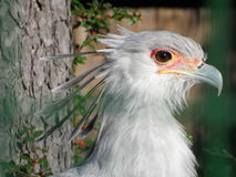 Secretary bird. Stock Photography