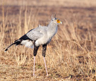 Secretary bird posing Stock Images