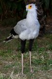 Secretary Bird of Prey. With long legs and pretty feathers Stock Photography