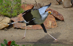 Secretary Bird. Of Prey running in motion royalty free stock photography