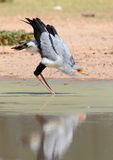 Secretary Bird reflection drinking water. Secretary Bird with reflectiobn photographed while drinking in the afternoon of a hat Kalahari summer Royalty Free Stock Photo