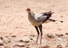Secretary Bird (Sagittarius Serpentarius) Royalty Free Stock Photos