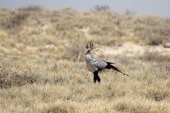 Secretary Bird (Sagittarius serpentarius) Royalty Free Stock Photography