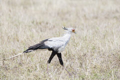 Secretary Bird Sagittarius serpentarius on the Plains of the Serengeti. In Northern Tanzania Stock Photography