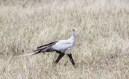 Secretary Bird Sagittarius serpentarius on the Plains of the Serengeti. In Northern Tanzania Royalty Free Stock Images