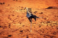 Secretary bird Sagittarius serpentarius on red ground royalty free stock images