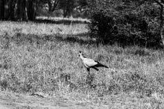 The secretary bird Sagittarius serpentarius. The secretarybird or secretary bird Sagittarius serpentarius very large, mostly terrestrial bird of prey in Stock Photos