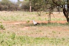 The secretary bird Sagittarius serpentarius. The secretarybird or secretary bird Sagittarius serpentarius very large, mostly terrestrial bird of prey in Stock Photography