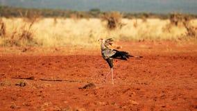 Secretary bird Sagittarius serpentarius walking on red ground stock images