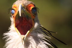 Secretary bird with scary face Stock Images