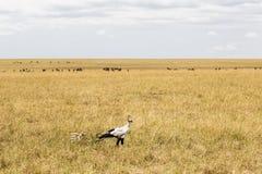 Secretary Bird in search of prey. Kenya, Africa stock photo