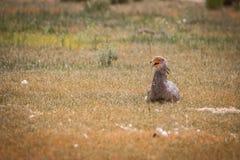 Secretary bird sitting in the grass. Stock Photography