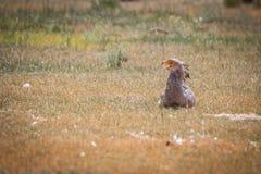 Secretary bird sitting in the grass. Royalty Free Stock Photography