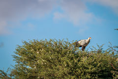 Secretary bird sitting in a tree. Royalty Free Stock Image