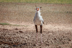 Secretary bird standing in the mud. Royalty Free Stock Images
