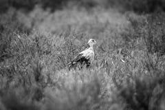 Secretary bird walking in the grass. Stock Image