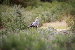 Secretary bird walking in the grass. Royalty Free Stock Images