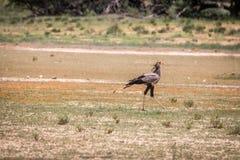 Secretary bird walking in the grass. Royalty Free Stock Photo