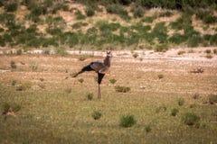 Secretary bird walking in the grass. Royalty Free Stock Photos