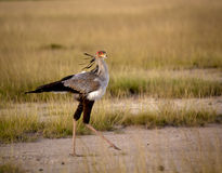 Secretary bird walking on gravel Stock Images