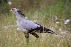 Secretary bird. Walking through high grass Stock Photography