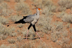 Secretary bird walking the Kalahari desert Royalty Free Stock Photo