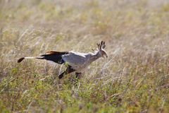 Secretary bird walking in Serengeti Royalty Free Stock Photos