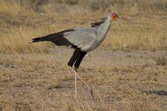 Secretary bird walks across savannah. Secretary bird walking in Samburu National reserve, Kenya. Horizontal closeup Stock Image
