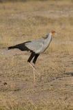 Secretary bird walks across savannah. Secretary bird walking in Samburu National reserve, Kenya. vertical closeup Stock Image