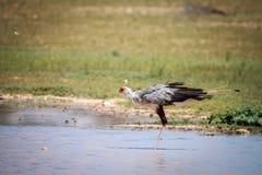 Secretary bird in the water. Stock Photo